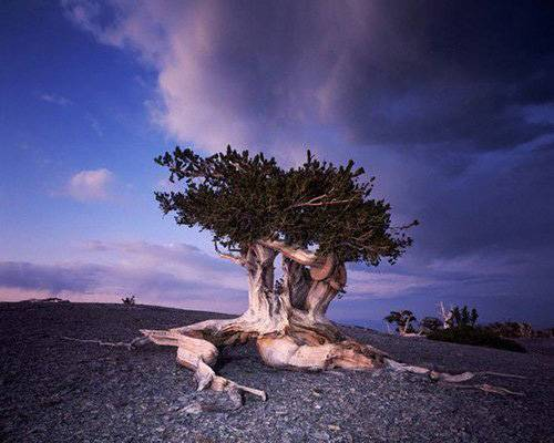 what is the oldest tree in the world