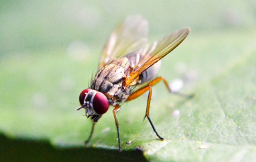 Keep Own Produce Fruits Safe: How To Kill Fruit Flies Fast?